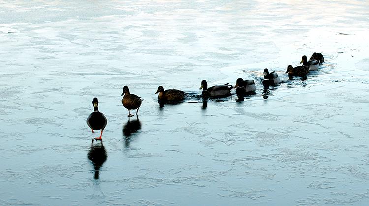 Un pato lidera el rumbo de su grupo